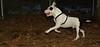 Petey (pitbull puppy)_003