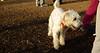 Maddy (new wheaton pup)_001