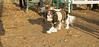 Charlie (shy beagle)_001