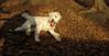 Maddy (new wheaton pup)_004