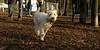 Maddy (new wheaton pup)_005