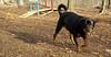 Beau (rottweiler)_001