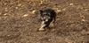 Cookie ( new puppy)_005