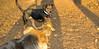 Jack (new beagle)_009