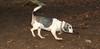 Sally (beagle)_001