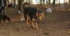 Sammy (coonhound)_002