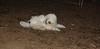 Petey (tibetan Terrier)_001