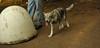 cheyenne (naid pup girl)_001