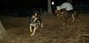 Coco (shepherd puppy), Cleo, Oscar (pup)_001