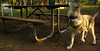 cheyenne (naid pup girl)_002