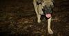 Cadence ( new puppy 6mo girl)_001