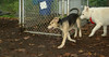 Boomer (new pup boy), Fluffy (foster)_001