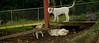 Boomer (puppy), Max (puppy)_004