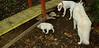 Boomer (puppy), Max (puppy)_003
