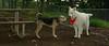 Boomer (new pup boy), Fluffy (foster)_002