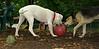 Boomer (puppy), Max (puppy)_002