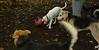 Boomer (puppy), Max (puppy)_001