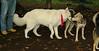 Boomer (new pup boy), Fluffy (foster)_003