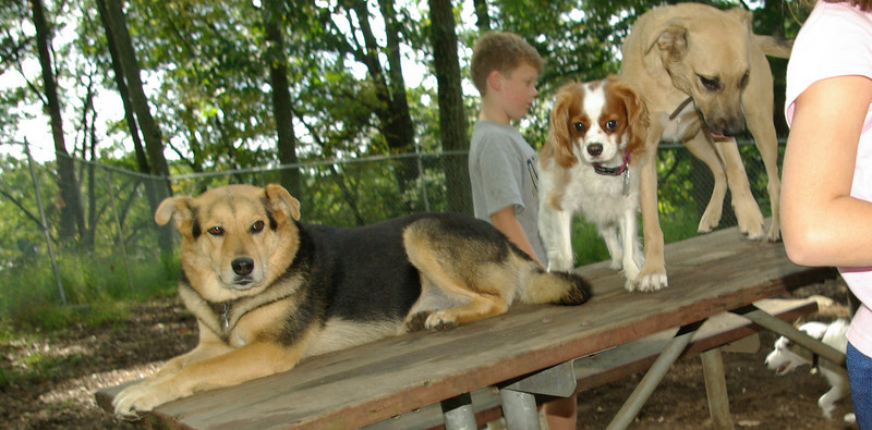 aaa King Cavalier Spaniel, Maddie, Ginger_001