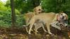 Ginger (puppy), Dixie (puppy)_001