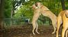 Ginger (puppy), Dixie (puppy)_003