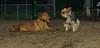 Doug (puppy), Beau (yorkie)_001