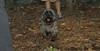 Buddy (cairn terrier)_001