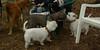 barrack (pit pup), sambucca_001