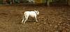 Daisy (bulldog puppy)_005