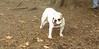 Daisy (bulldog puppy)_002