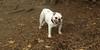 Daisy (bulldog puppy)_003
