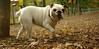 Daisy (bulldog puppy)_006