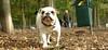 Daisy (bulldog puppy)_007