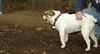 Daisy (bulldog puppy)_004