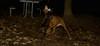 aaa boston terrier, cleo_002