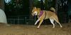 FOXI (shiba inu)_001
