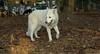 Fluffy (foster boy, white shepherd)_002