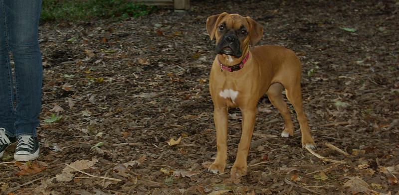 Bela (boxer puppy girl)_001
