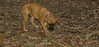 Bela (boxer puppy girl)_004