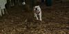 Buddy (bulldog)_002