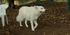 Fluffy (foster boy, white shepherd)_001