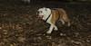 Buddy (bulldog)_001
