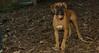 Bela (boxer puppy girl)_002