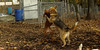 Ginger, Cleo (puppy)_005