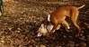 Ginger, Cleo (puppy)_018