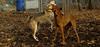 Ginger, Cleo (puppy)_007
