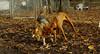 Ginger, Cleo (puppy)_004