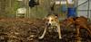 Ginger, Cleo (puppy)_008