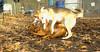Ginger, Cleo (puppy)_001