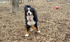 Cookie (bernese mountain boy, new)_00004